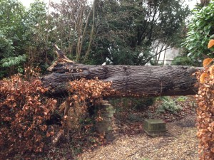 Tree fall in Piccotts End