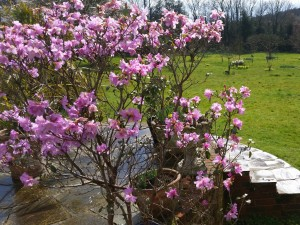 Pretty in pink - Rhododendron Praecox