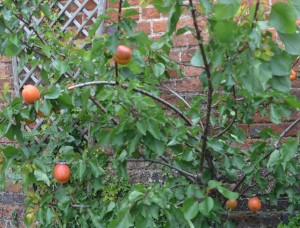 Apricots in Piccotts End